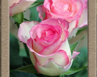 White pink green rose flower seeds,399,flower roses seeds, roses from seeds,planting roses,growing roses from seeds,seeds for roses