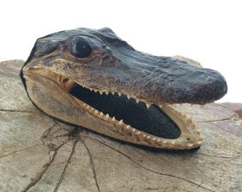 Small Taxidermy Alligator Head