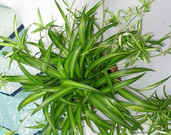 50%OFF, Spider plant, organic plant, indoor flower