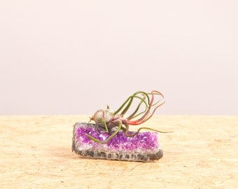Amethyst + Bulbosa Air plant
