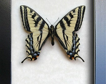 Western Tiger Swallowtail Papilio Rutulus Verso Real Butterfly In Museum Quality Shadowbox