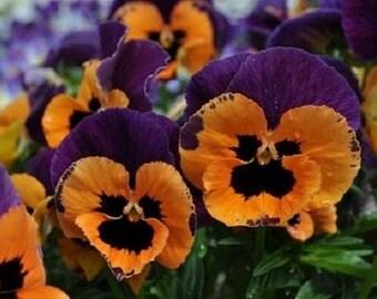 35+ Poker Face Joker Pansy / Biennial Flower Seeds