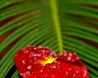 Flower Photography, Red Pansy - Fine Art Photography