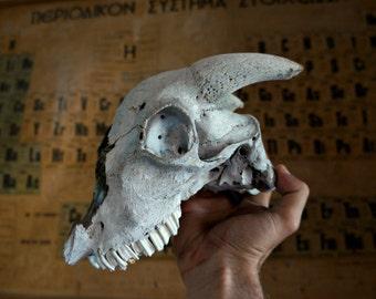 Ram Skull , Real Animal Skull , Taxidermy , Macabre Pagan Decor , Voodoo Gothic Supplies , Natural Animal Bones , Oddities , Cruelty Free