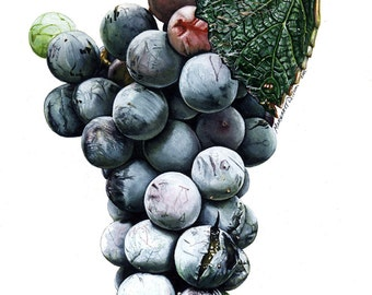 Juicy Grapes, a fine art giclee from my original watercolor