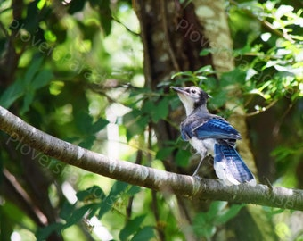 Baby Blue Jay Photograph // Blue Jay Picture // Florida Blue Bird Print