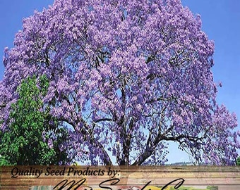 Japanese weeping cherry tree seed prunus subhirtella pendula for Alberi da ombra a crescita rapida