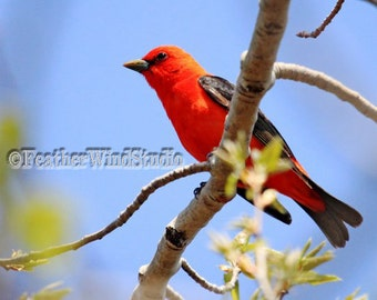 Scarlet Tanager Bird Photo | Spring Migration Photography | Nature Wall Hanging | Black Red Songbird | Birder Gift Idea | Tanager Bird Print
