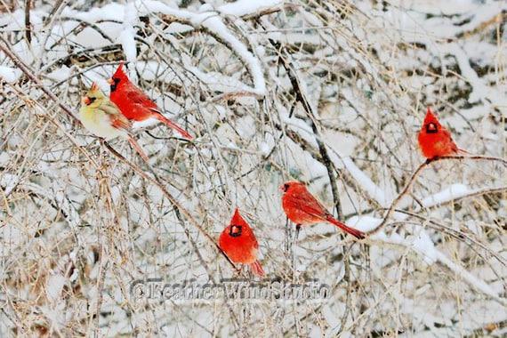 Winter Cardinals Bird Photography Nature Flock Of Red Birds