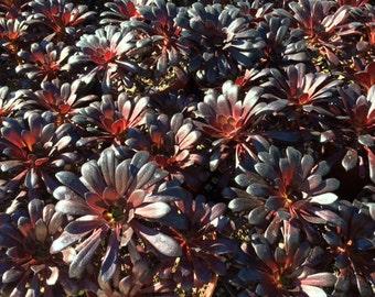 Succulent Plant Mature Black Rose Zwartkop.  Deep purple coloring of this plant is almost black.