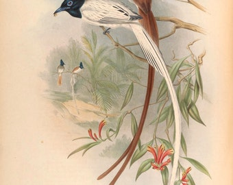 Muscipeta  Paradisi= the Paradise Flycatcher