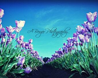 Purple Tulip Field
