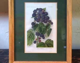 Framed Botanical Print - Hoosier Raspberry by E. J. Schutt circa 1910