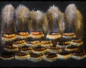 "21 - 5"" to 8"" turkey feathers from wild Kansas Rio wild turkeys"