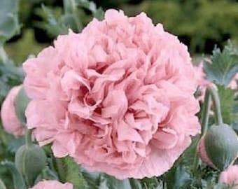 Pale Rose Peony Poppy Flower Seeds / Papaver / Annual 100+