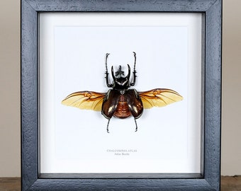 Atlas Beetle with Spread Wings in Box Frame (Chalcasoma atlas) Real Mounted Beetle