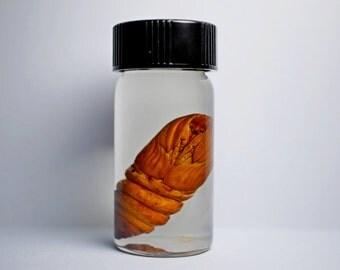 Cecropia Moth Chrysalis Wet Specimen