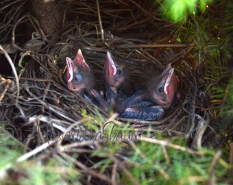 Baby Birds in Nest, Mouths Closed- Digital File