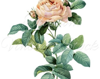 ROSE Digital Image Botanical Prints - INSTANT DOWNLOAD, Wedding Clipart, Printables - 1002
