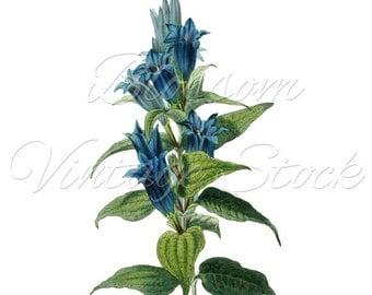 Botanical Print Blue Flower Digital Image, Vintage Graphic Antique Illustration for Print, Artwork, Collage - INSTANT DOWNLOAD - 1368