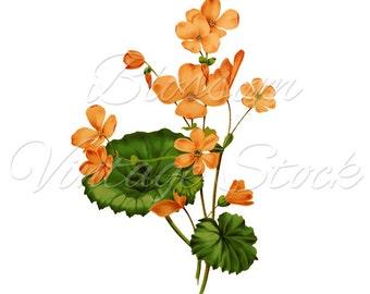 Peach Flowers Botanical Print, Digital Image, Antique Illustration INSTANT DOWNLOAD Botanical Digital Image - 1603