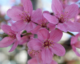 Beautiful Pink Blossoms Image #232