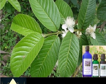 Lotus House Guava Leaf - Essential Oil