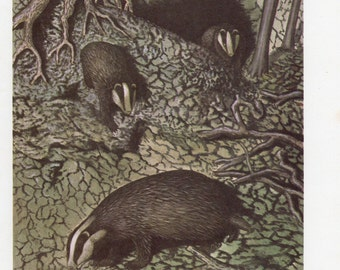 1960's Badger Print - 1960's Animal Lithograph, Badgers, Badger, Nocturnal Animals, Badger Print, Badger Lithograph, Badger Plate