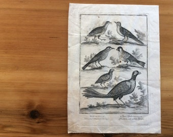 1730s Antique Engraving, Bird Art. Natural History, Physica Sacra. Large Black and White, Copper Plate Engraving by Corvinus. Etching Print.