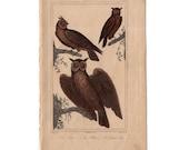 1831 OWLS - ANTIQUE ENGRAVING - original antique print - ornithology avian birds - antique bird print - le grand duc owl - bird of prey