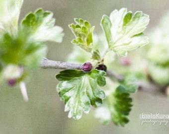 currant flower photography, 12x18 spring print, nature photography, green flower print, spring photography, leaf detail print, nature art