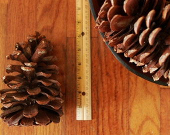 GIANT Longleaf Pine Cone