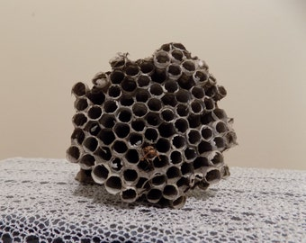 Paper Wasp Nest Vacant