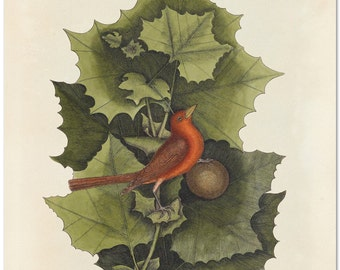 Red Bird Print, Botanical Art Print, Botanical Poster, The Summer Redbird and The Western Plane-tree Natural History Illustration