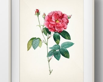 Rose Botanical #06 by Redoute - Apothecary's Rose - RD-06 - Fine art print of a vintage natural history antique botanical illustration
