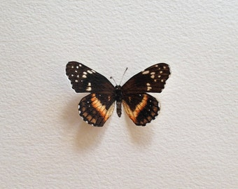 Hand-Painted Bordered Patch Butterfly Specimen