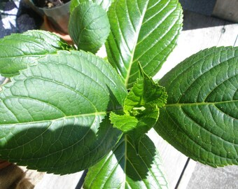 Hydrangea plants- mophead and lacecap varieties- group of 2 rooted cuttings one year old