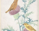 Vintage Book Illustration - Yellow Warbler and the Cowbird - Artist Fern Bisel Peat - Published 1931