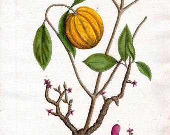 1760 Elizabeth Blackwell GAMBOOGE TREE Vintage Botanical Pl 392 Herb Herbal Kitchen Home Decor Vintage Art Prints