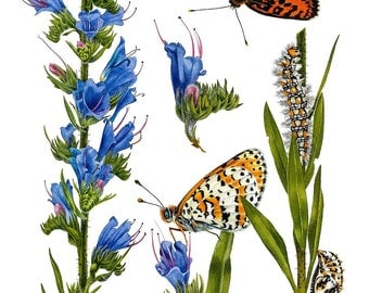 Echium Vulgare and Melitaea Didyma, Giclee Art Print, limited edition, botanical art, botanical painting, butterfly, blue flowers, esperoart