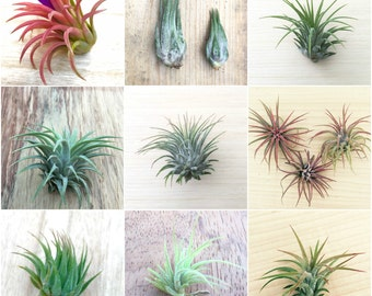 10 Pack assorted Tillandsia ionantha air plants - Rainforest Alliance Donation Item!