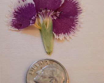 Dried Pressed Flowers; 12 Brilliant Purple Dianthus, Grown in Ct; Laminated and Reusable Pouch; Free Shipping