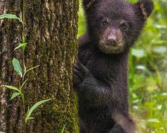 Cades Cove Black Bear Cub Smoky Mountains Fine Art Print Jimmy Pappas