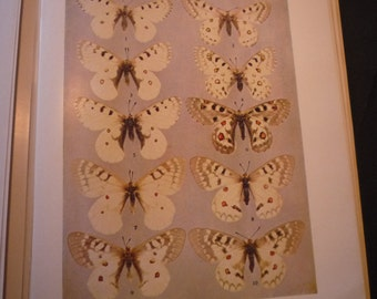 Butterflies - Gorgeous Cream spotted  - 1945 color plate - vibrant color prints - Natural world framable W J Holland