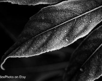 Instant Digital Download Printable Fine Art Black and White Nature Photography 'Frosty Leaf'