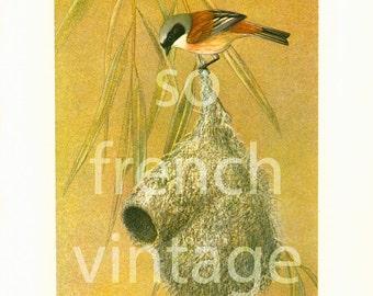 1961 Penduline Tit, Remiz pendulinus, vintage Bird Print, Ornithology, nature wall art
