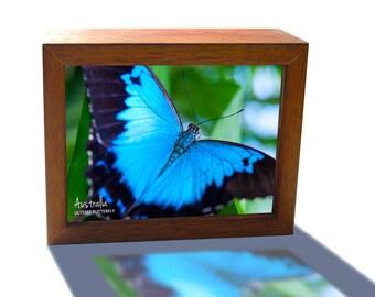 Ulysses Butterfly Queensland Australia