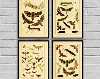 Vintage Moths and Caterpillars - Set of 4 - Print or Canvas - Lepidoptera Art - Insect Wall Art - Butterfly & Moth Lithographs  - 239 - 242