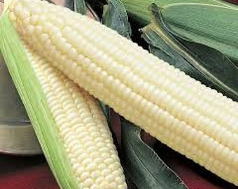Silver Queen Corn Seed, 1/2 lb., USA Grown, Treated Seed, NON GMO, For 2016