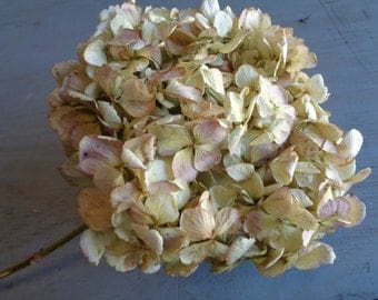 Dried Hydrangea Light Green Soft Tones Antique Large Fluffy Blooms Preserved Wedding Bouquet Arrangement Vase Wreath